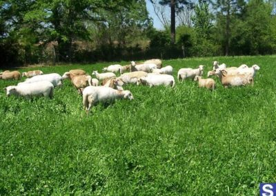 Kat Sheep SEA-90 pasture and mineral