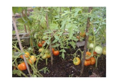 Nutrient Dense Tomatoes