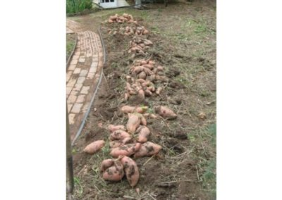 Organic Sweet Potatoes - SeaAgri