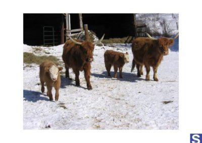 Scottish Highland Calfs