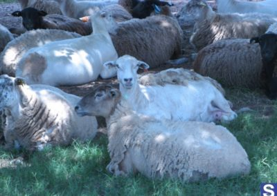 White Oak Pastures - Sheep