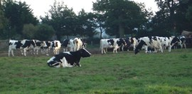 Larry S's dairy cows