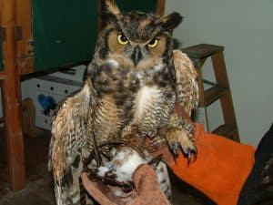 great_horned_owl_injured