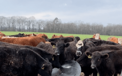 Cows Fighting for SEA-90 Essential Elements