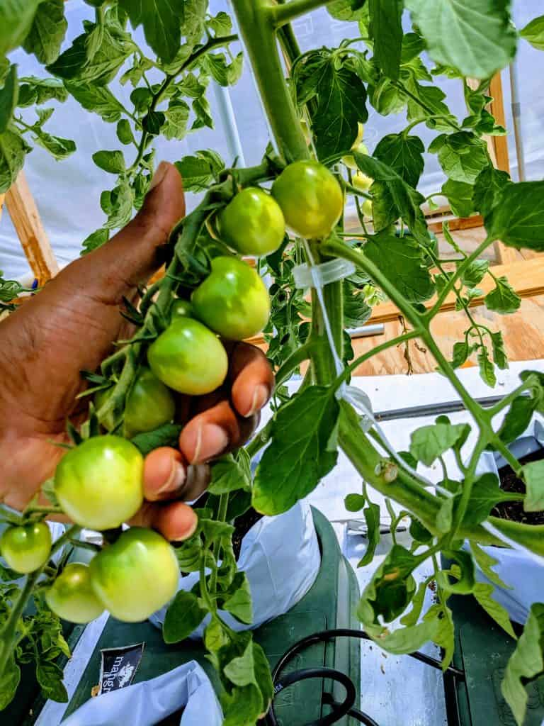 Tomatoes grown with SEA-90